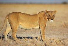 Femelle de lion en soleil de matin, Etosha, Namibie Photos libres de droits