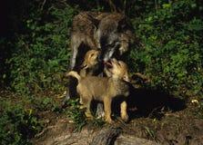 Femelle de loup gris et jeune interaction Photos stock
