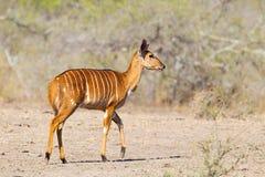 Femelle de Nyala Photo libre de droits