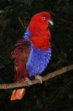 Femelle de perroquet d'Eclectus, Australie Photographie stock