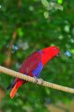 Femelle de perroquet d'Eclectus (rouge) photos libres de droits