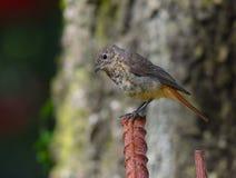 Femelle de Redstart dans le premier plan Photos libres de droits