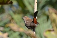 Femelle de Robin d'Indien (fulicatus de Saxicoloides) Image libre de droits