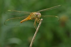 Femelle de Ruddy Marsh Skimmer Photos stock