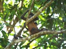 Femelle de singe d'araignée avec la chéri, Costa Rica Photos libres de droits