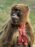 Femelle de singe de Gelada images libres de droits