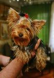 Femelle de terrier de Yorkshire de jeune fille avec une bande élastique rouge pour les cheveux dans les cheveux dans les mains d' Images stock