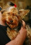 Femelle de terrier de Yorkshire de jeune fille avec une bande élastique rouge pour les cheveux dans les cheveux dans les mains d' Photo stock