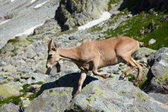 Femelle de tur de Caucase Photographie stock
