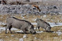 Femelle de Warthog avec jeune alimenter, Namibie Photos libres de droits