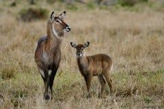 Femelle de Waterbuck avec des jeunes, masai Mara Photo stock