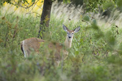 Femelle de Whitetail Photo libre de droits
