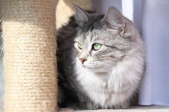 Femelle du chat sibérien Image stock