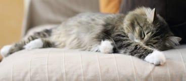 Femelle du chat sibérien sur le sofa Photographie stock libre de droits