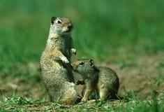 Femelle et chéri d'écureuil au sol d'Uinta Image stock