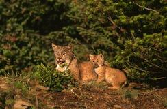 Femelle et chaton canadiens de lynx Photographie stock libre de droits