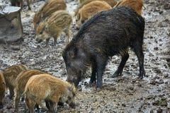 Femelle et porcelets sauvages de porc dans la boue Photographie stock libre de droits