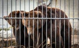 Femelle et un grand ours masculin Photo stock