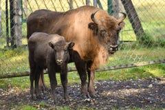 Femelle et veau européens de bison Photos libres de droits