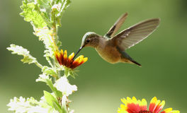 femelle Grand-suivie de colibri (platycercus de Selasphorus) Photo stock