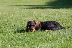 Femelle mignonne de teckel brun Image libre de droits