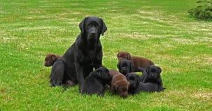 Femelle noire de labrador retriever et noir et chiots de Brown sur la pelouse, Normandie, mouvement lent banque de vidéos