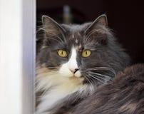 Femelle norvégienne de chat de forêt dans une fenêtre Photographie stock