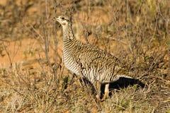 Femelle peu de poulet de prairie Photos stock