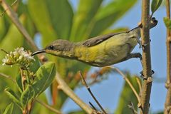 Femelle pourpre de Sunbird Photo stock