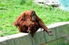 femelle remettez son orang-outan tend Photographie stock libre de droits
