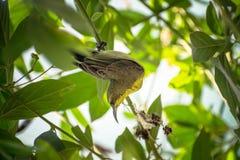Femelle soutenue par l'olive de Sun-oiseau Images stock
