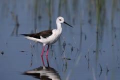 Femelle une échasse à ailes jeune par noir marche dans l'eau Images libres de droits