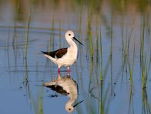 Femelle une échasse à ailes jeune par noir marche dans l'eau Photo libre de droits