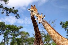 Femelles et giraffes de mâles Images stock
