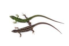 Femenino y varón de los agilis del Lacerta del lagarto de arena aislados en pizca Imagen de archivo libre de regalías