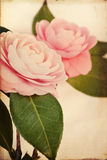 Feminine Camellia Flowers with Vintage Texture Stock Images