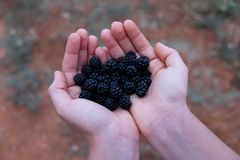 Feminine hands holding blackberries closeup royalty free stock image
