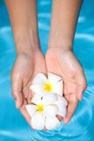 feminine hands holding fragrant frangipani flower Royalty Free Stock Photography