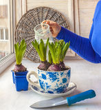 Feminine hands hyacinths in a pot watered Stock Photo
