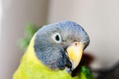 Femle dalla testa prugna del pappagallo Fotografia Stock