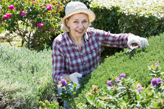 Femme adulte occupée dans les buissons de jardinage Photos stock