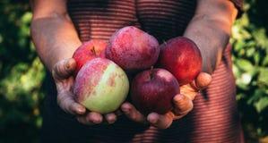 Femme agée et récolte des pommes photos libres de droits