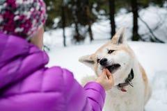 Femme alimentant le chien d'Akita Inu dans la neige, montagnes de Karkonosze, Pologne Image libre de droits