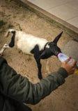 Femme alimentant un veau affamé photo libre de droits