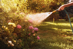 Femme arrosant une usine dans le jardin au coucher du soleil Photo stock