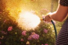 Femme arrosant une usine dans le jardin au coucher du soleil Image stock