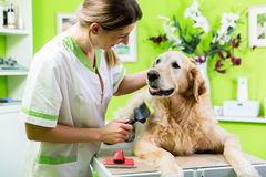 Femme atteignant le soin de fourrure de golden retriever le salon de chien photos libres de droits