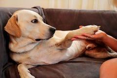 Femme avec des crabots Le chien donne à une patte son propriétaire féminin sur le sofa Photos stock