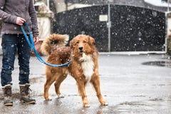 Femme avec la promenade de chien en hiver sur la route photographie stock