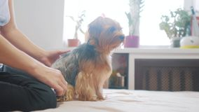 Femme balayant son chien vidéo drôle de chien fille peignant un petit soin des animaux familiers de mode de vie de chien hirsute  banque de vidéos
